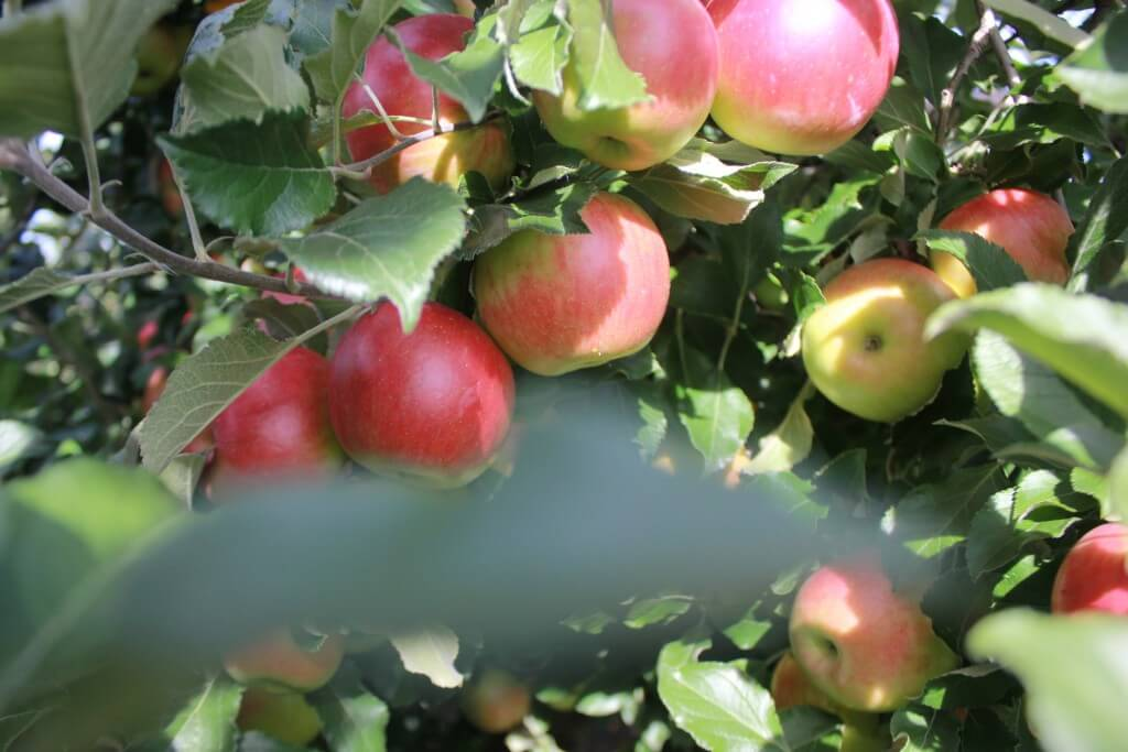 Connor's Farm apples 3