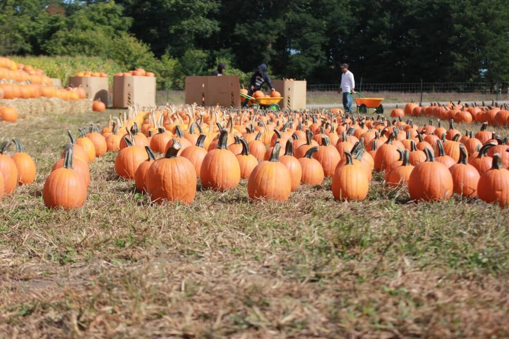 Connor's Farm pumpkin patch