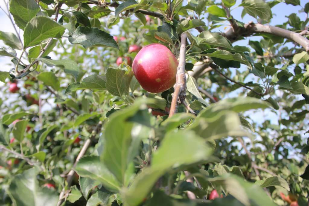 Connor's Farm single apple