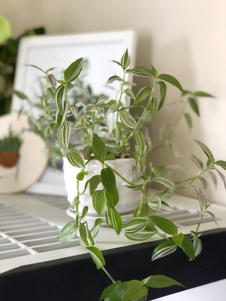 Easy Care Houseplant - Tradescantia Zebrina