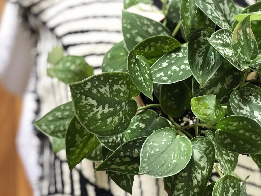 Scindapsus Pictus - A houseplant with easy care needs